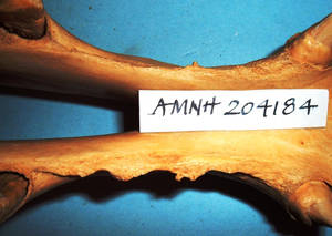 Figure 2. Bit-induced bone spurs on the bars of the mouth, on the right bar especially. The first cheek tooth in the lower jaw is on the left of the picture and the canine tooth on the right. (Courtesy of American Museum of Natural History). © Professor Dr. Robert Cook