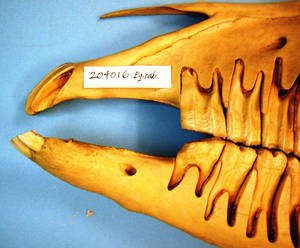 Figure 3. Bit-induced erosion of the first cheek tooth in the lower jaw. Small bone spurs can also be seen on the bars of the mouth (Courtesy of American Museum of Natural History). © Professor Dr. Robert Cook